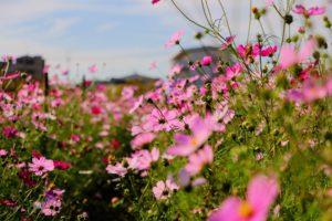 青空と雲と秋桜畑