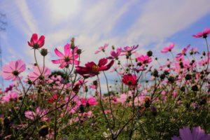 青空と太陽と雲と秋桜