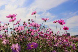青空と雲と秋桜